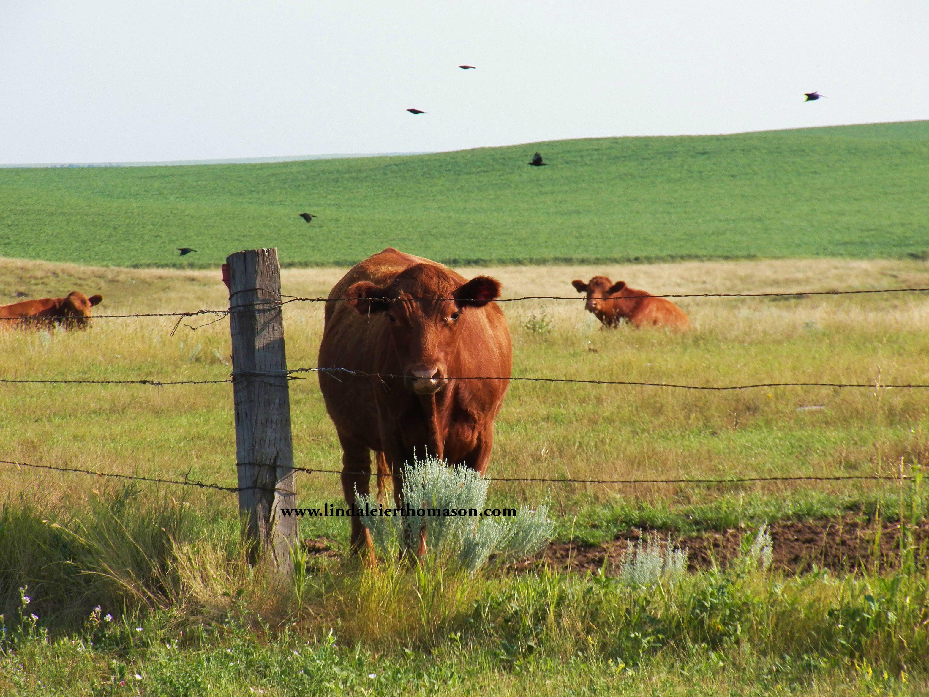 cattle hwy 11